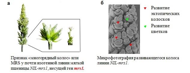 http://www.bionet.nsc.ru/files/2014/nauka/vajneyshie-rezultaty/7.jpg