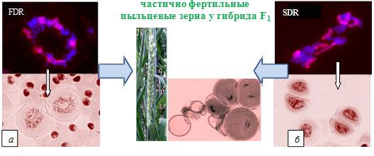 http://www.bionet.nsc.ru/images/important/GISH.jpg