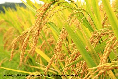 Новые данные по генам риса