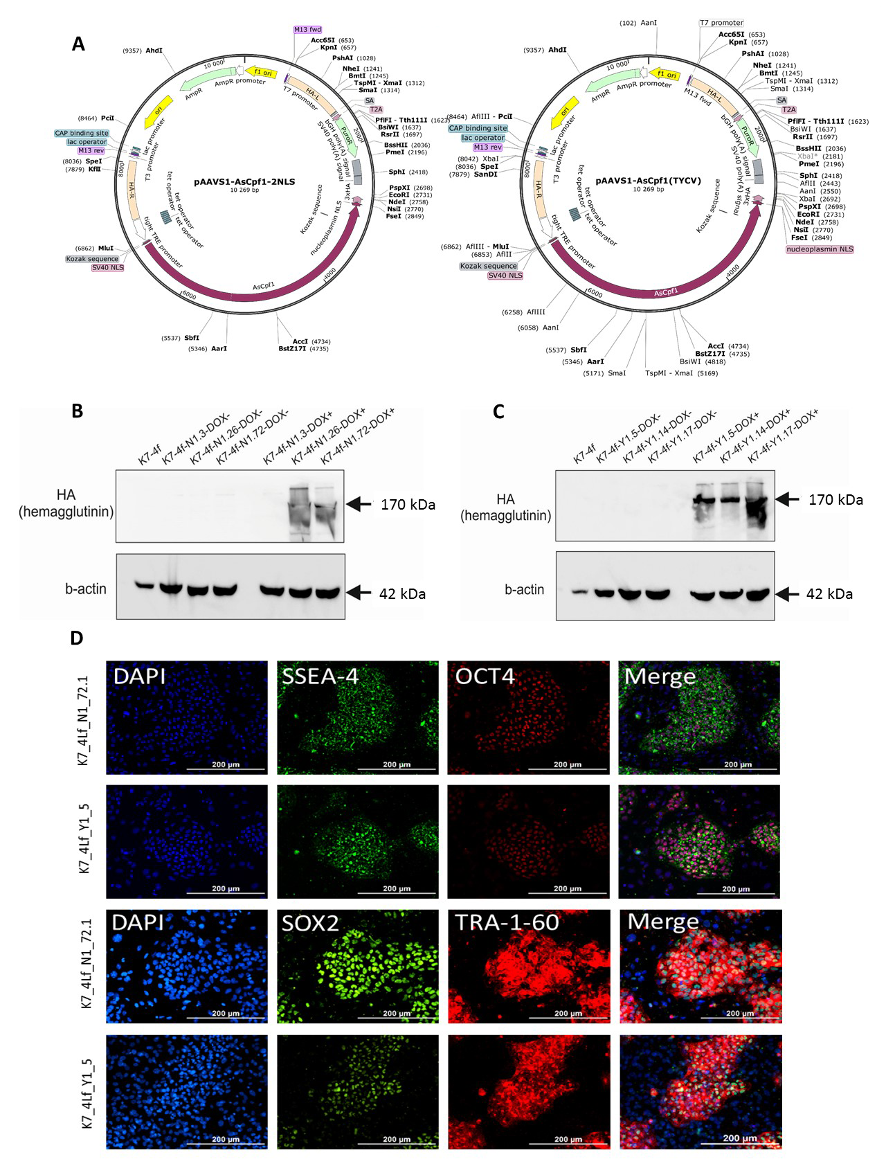 Transgenic iPSC lines - Programmable nucleases