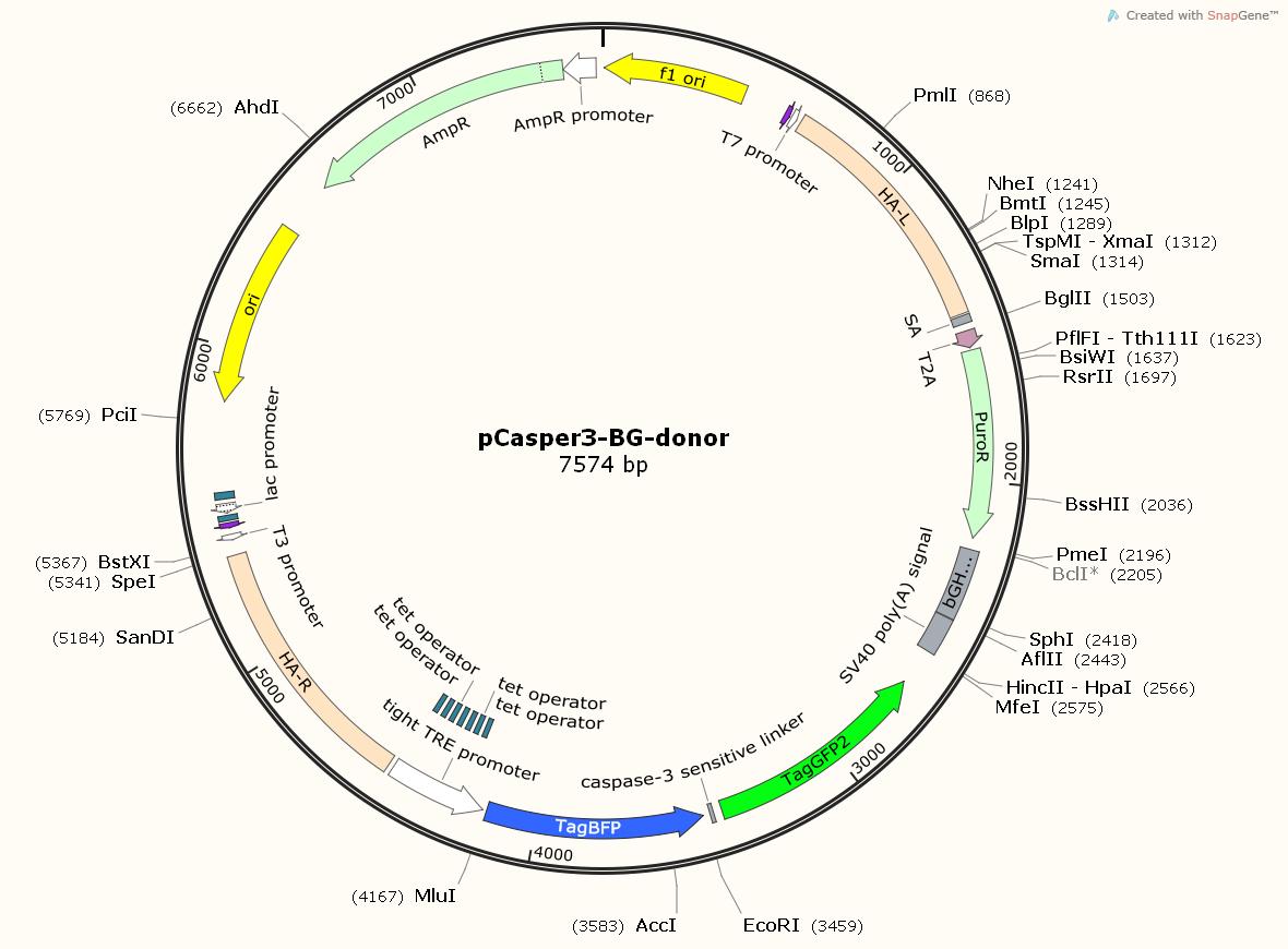 pCasper3-BG-donor